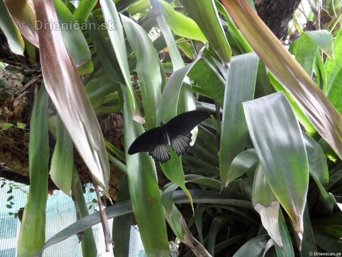 Tropicke motyle v botanickej zahrade Kosice_36