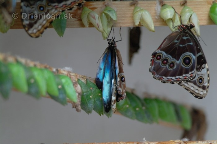 Tropicke motyle v botanickej zahrade Kosice_45