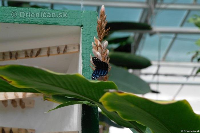Tropicke motyle v botanickej zahrade Kosice_48