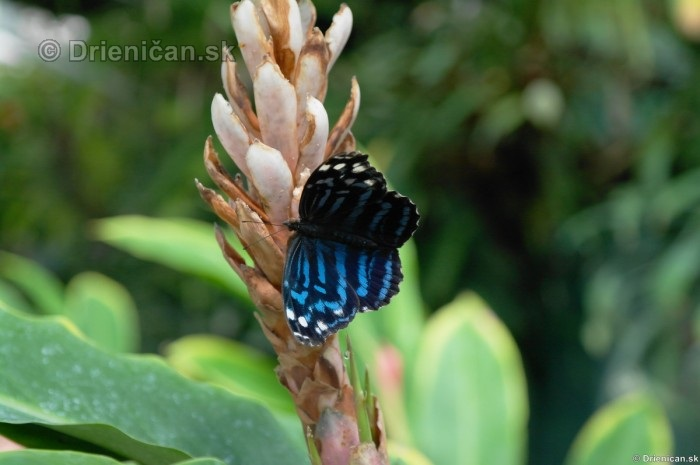Tropicke motyle v botanickej zahrade Kosice_49
