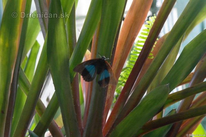 Tropicke motyle v botanickej zahrade Kosice_51
