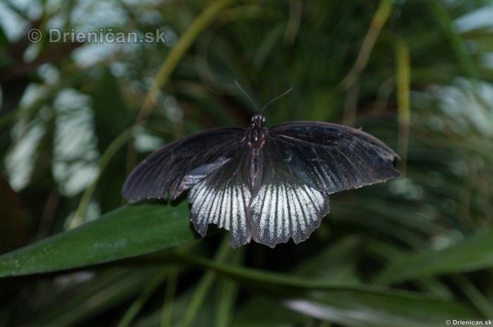 Tropicke motyle v botanickej zahrade Kosice_54