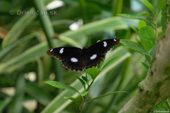Tropicke motyle v botanickej zahrade Kosice_56