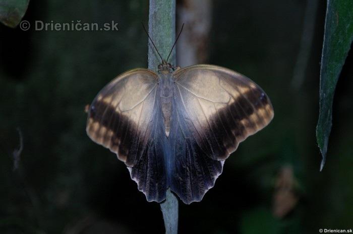 Tropicke motyle v botanickej zahrade Kosice_57