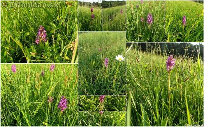 VstavacMajovy Vstavac Sirokolisty-Dactylorhiza majalis_01