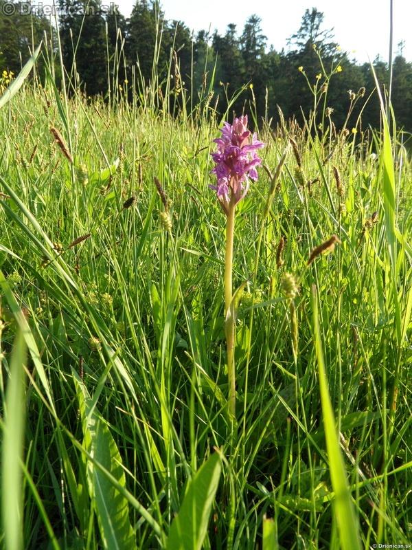 VstavacMajovy Vstavac Sirokolisty-Dactylorhiza majalis_05