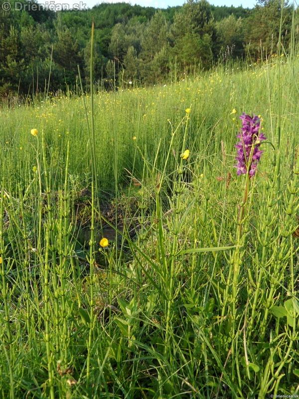 VstavacMajovy Vstavac Sirokolisty-Dactylorhiza majalis_10