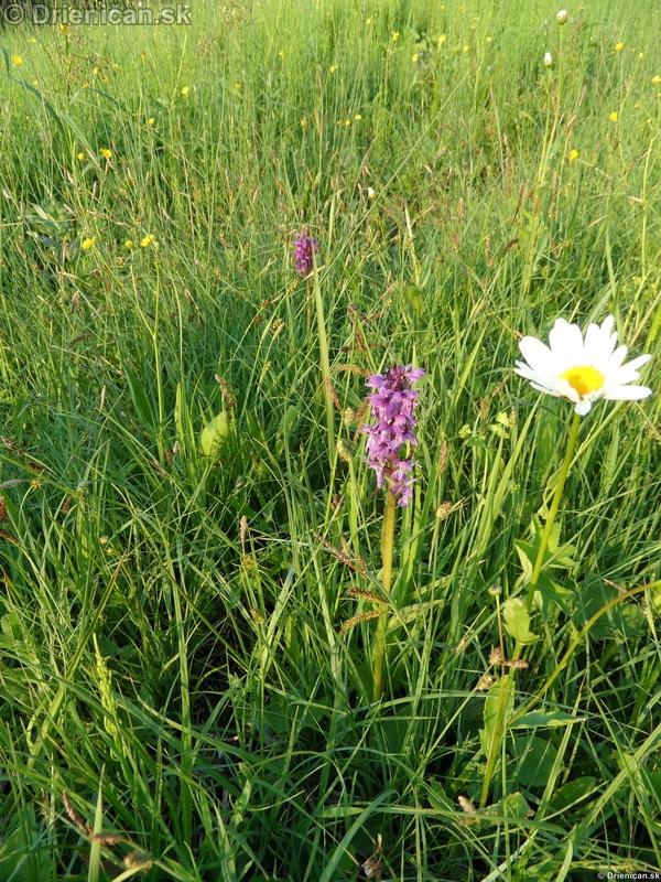 VstavacMajovy Vstavac Sirokolisty-Dactylorhiza majalis_11