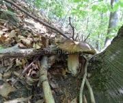 Hríb sa schovával za stromom, no zo zlej strany