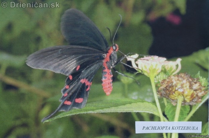 Preparovane motyle zo sveta_03