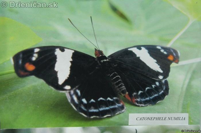 Preparovane motyle zo sveta_06