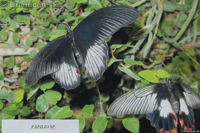 Preparovane motyle zo sveta_09