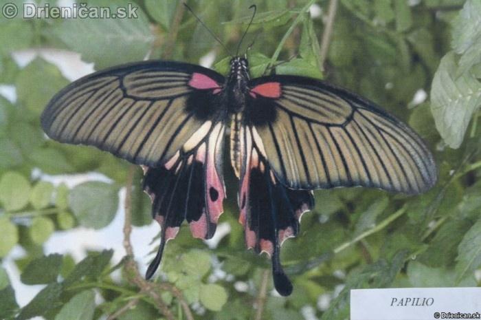 Preparovane motyle zo sveta_10
