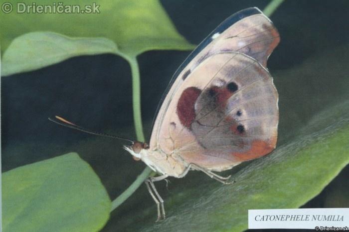 Preparovane motyle zo sveta_11