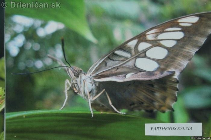 Preparovane motyle zo sveta_12