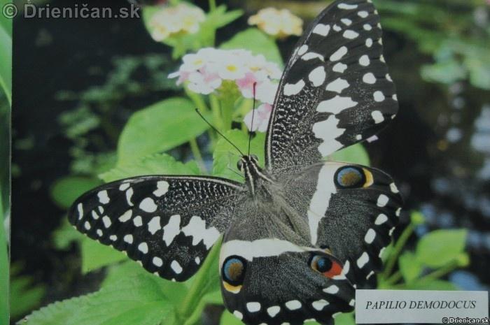 Preparovane motyle zo sveta_13