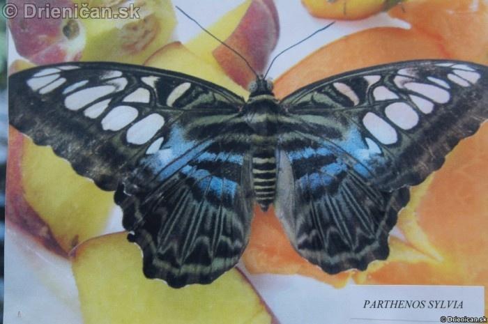 Preparovane motyle zo sveta_16