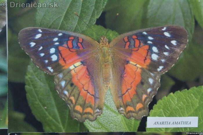 Preparovane motyle zo sveta_17