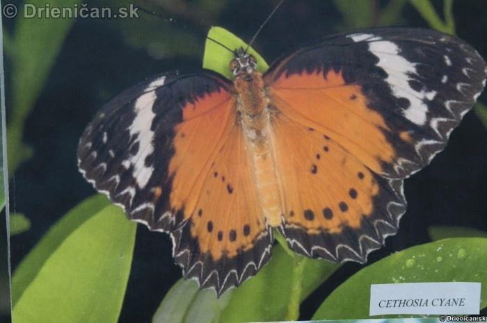 Preparovane motyle zo sveta_18