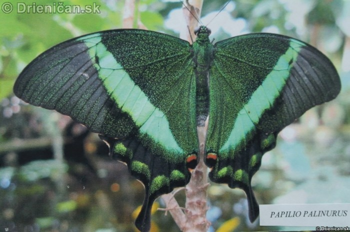 Preparovane motyle zo sveta_19