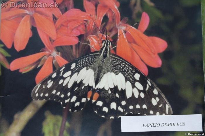Preparovane motyle zo sveta_21