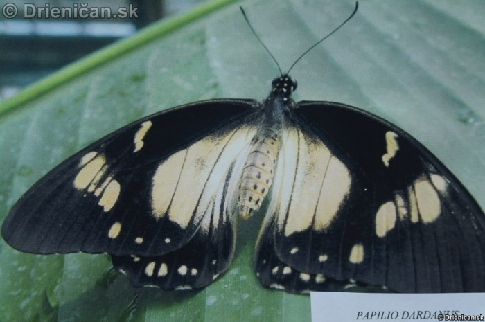 Preparovane motyle zo sveta_24