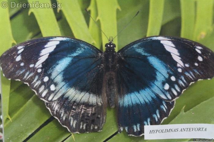 Preparovane motyle zo sveta_27