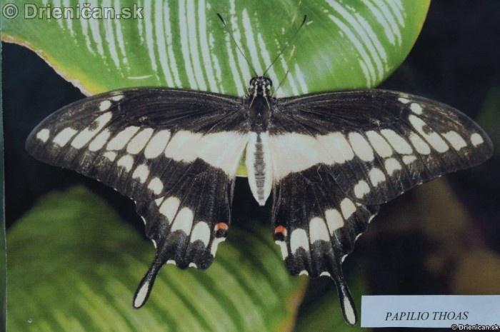 Preparovane motyle zo sveta_28