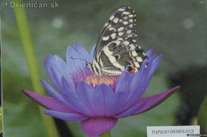 Preparovane motyle zo sveta_29