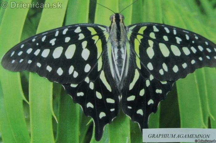Preparovane motyle zo sveta_30