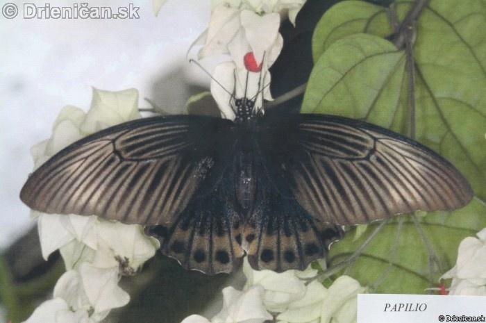 Preparovane motyle zo sveta_31