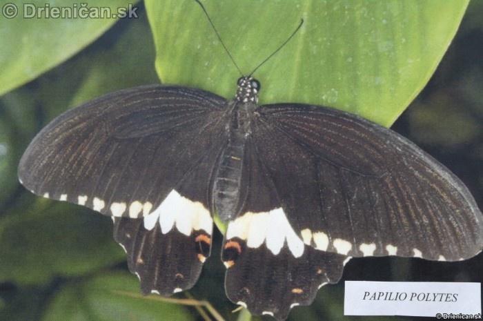 Preparovane motyle zo sveta_33
