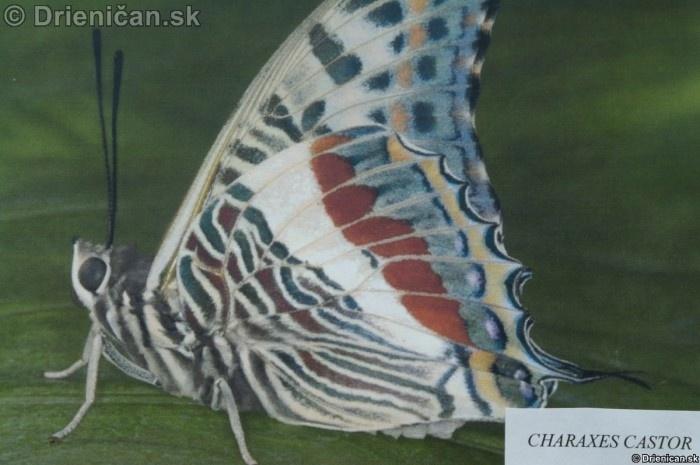 Preparovane motyle zo sveta_34