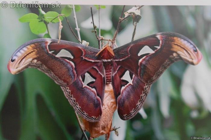 Preparovane motyle zo sveta_83
