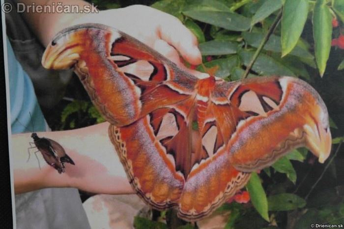 Preparovane motyle zo sveta_84