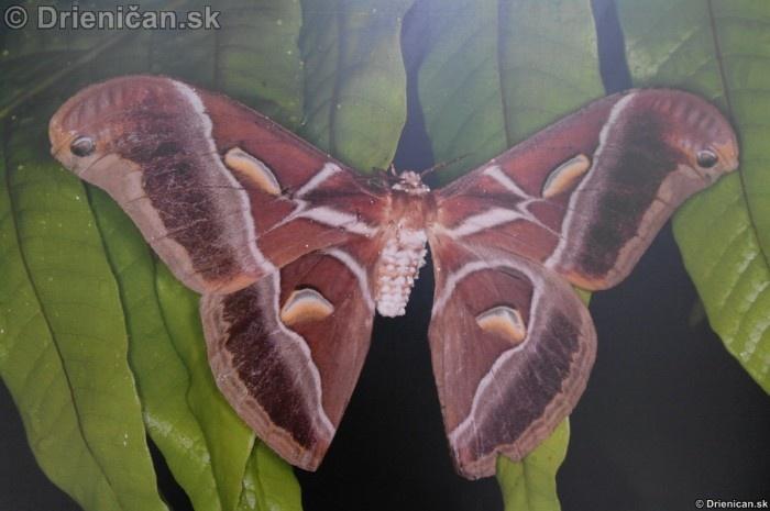 Preparovane motyle zo sveta_85