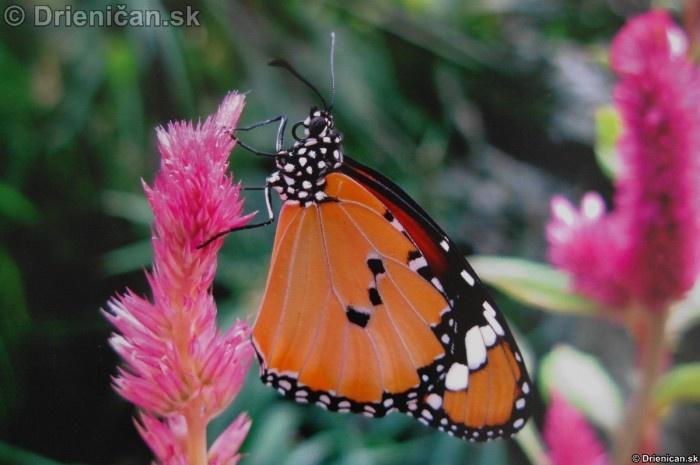Preparovane motyle zo sveta_87