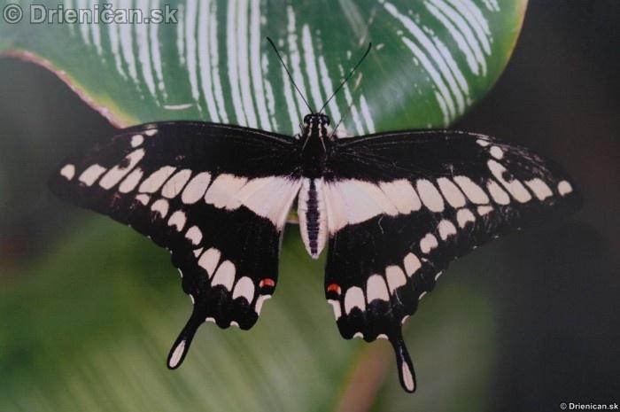 Preparovane motyle zo sveta_88
