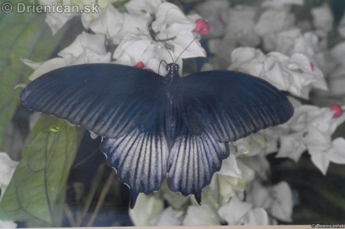 Preparovane motyle zo sveta_89