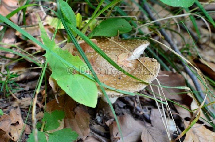 Vyschnutá muchotrávka značí nedostatok vlahy pre rast húb