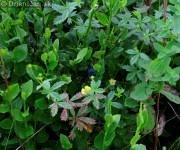 Brusnica cucoriedkova alebo borovnica 2012_01
