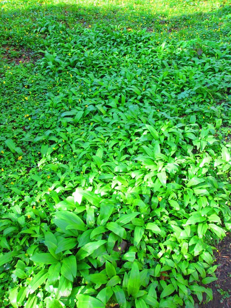 Uz rastie medvedi cesnak_08