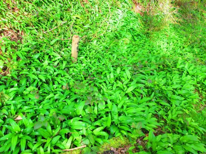 Uz rastie medvedi cesnak_09