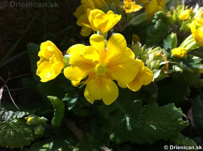 prve jarne kvety-poslovia jari_02