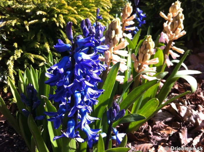 prve jarne kvety-poslovia jari_12