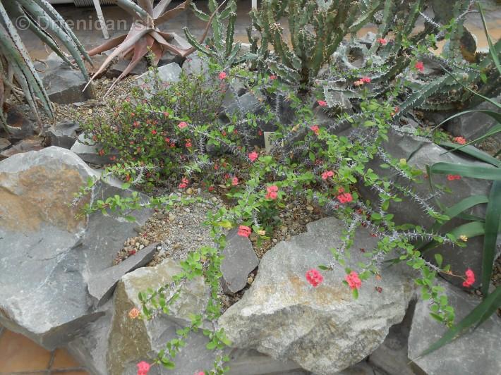 Kaktusy v botanickej zahrade kosice_045
