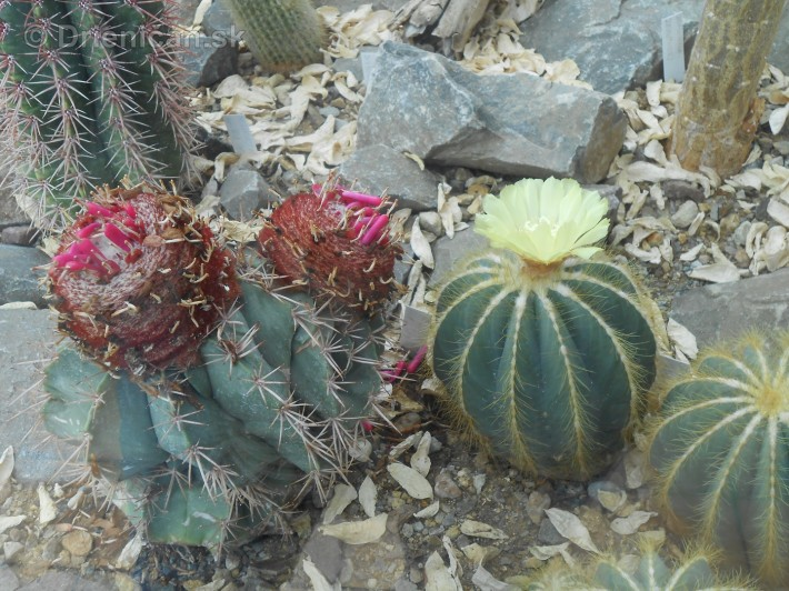 Kaktusy v botanickej zahrade kosice_048