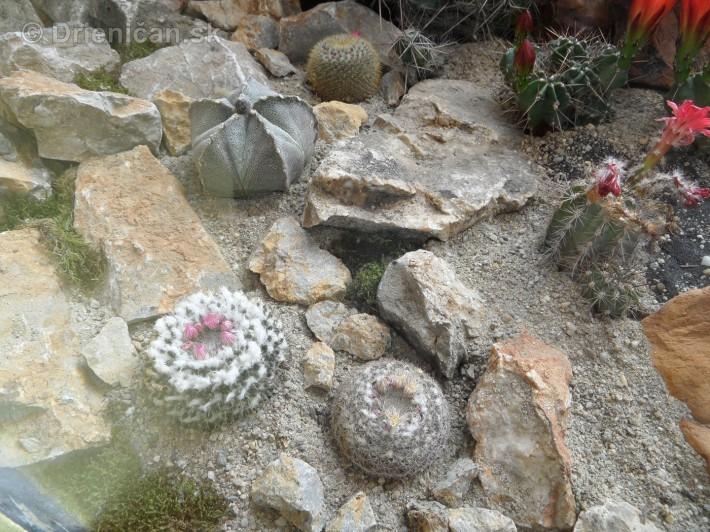 Kaktusy v botanickej zahrade kosice_062