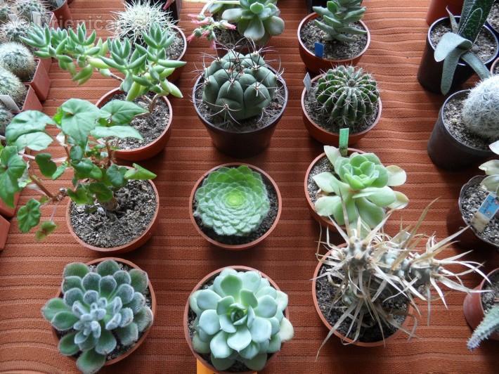 Kaktusy v botanickej zahrade kosice_083