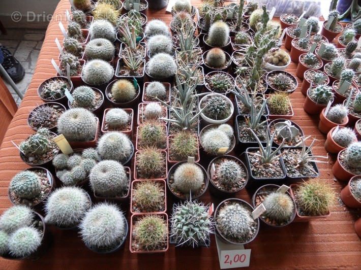 Kaktusy v botanickej zahrade kosice_085